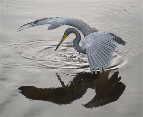 heron meaning file heron tricol 01 jpg wikimedia commons