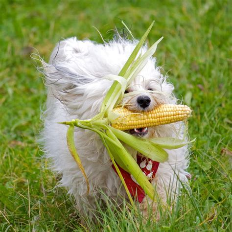 dogs eat corn can dogs eat tomatoes carrots celery and other vegetables
