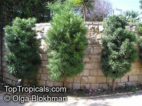 Kayu Bonsai Size M podocarpus macrophyllus buddhist pine yew