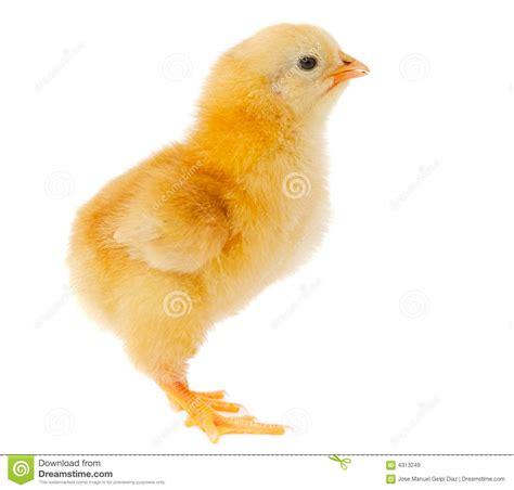Small Chicken by Small Chicken Royalty Free Stock Images Image 4313249