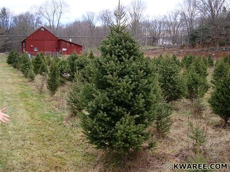 hunt christmas tree farm in coventry ct