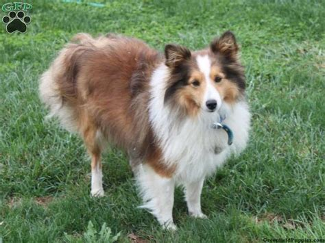 sheepdog puppies for sale in pa 1000 images about shelties on sheep dogs shetland sheepdog and sheltie