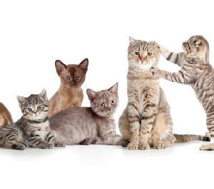 breed with lifespan cat breeds with lifespan