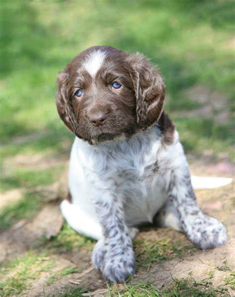 german haired pointer puppies german shorthaired pointer puppy photo and wallpaper beautiful german shorthaired
