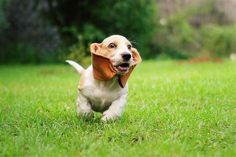 puppies running basset hound puppies running wallpaper