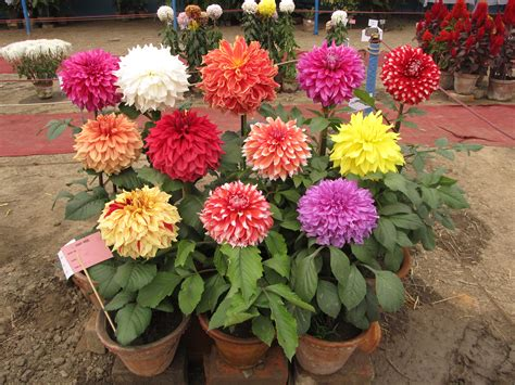 Dahlia Flower Garden Useful Tips To Grow Dahlias