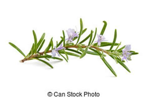 fiori rosmarino erba fiori rosmarino fiore foglia erba sopra