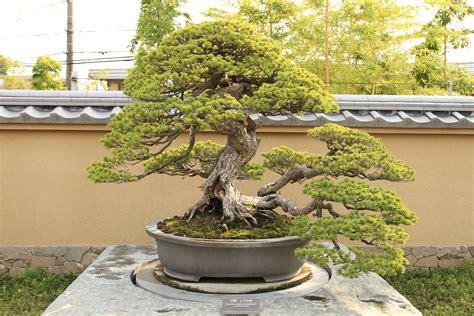 Indoor Bonsai Kaufen by Outdoor Bonsai Tree Care