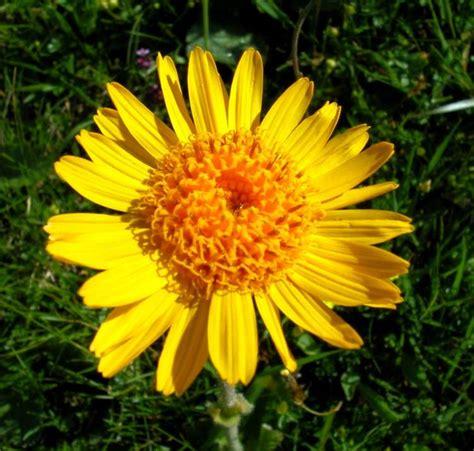 fiori di arnica fiore di arnica fare di una mosca