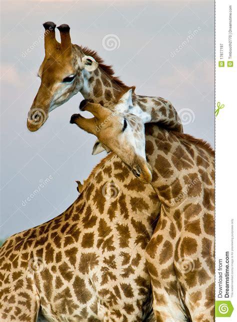 giraffe hug royalty  stock photography image