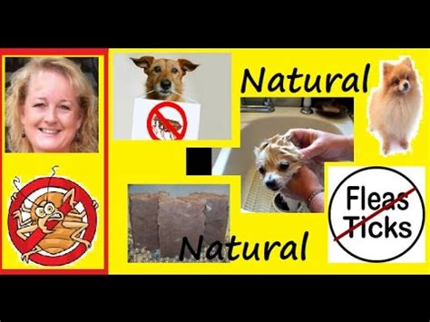 what can i buy to kill fleas in my house how to kill fleas on your dog naturally youtube