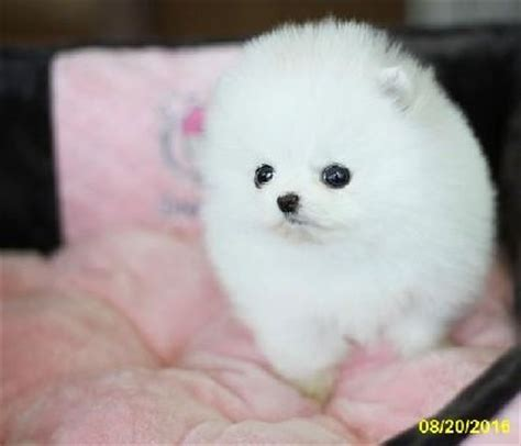 pomeranian puppies sacramento pomeranian puppies stuff for sale in sacramento ca claz org