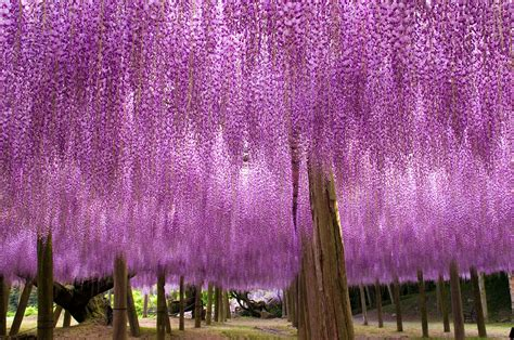wisteria tunnels tokyo wisteria tunnel dreams and wonders the most beautiful