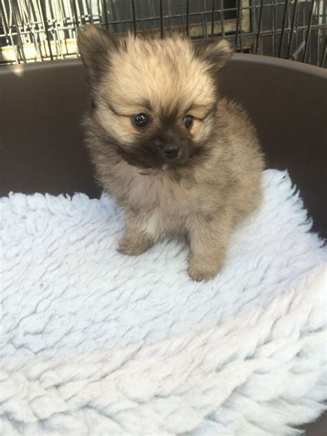 teacup pomeranian for sale in colorado adorable teacup pomeranian puppies for sale doncaster south pets4homes