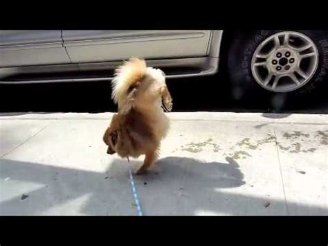 how to stop my dog pissing in the house my dog walking on his front legs hands while peeing in