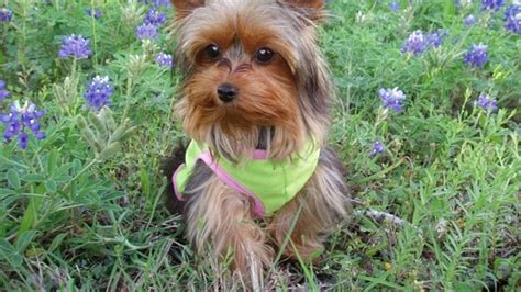 top yorkie names 93 most popular terrier names