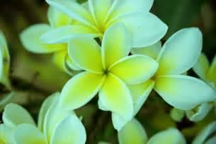 Flowers For Hawaiian Leis - hawaiian flowers these are the very same flowers they
