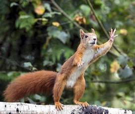 squirrel needs nuts and more 171 throwing down acorns