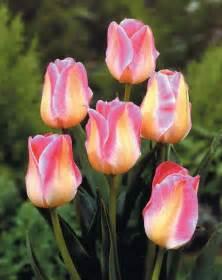 colors of tulips tulipa triumph show tulip triumph from bloem