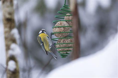 Nourrir Oiseaux Jardin by Nourrir Les Oiseaux Du Jardin Bien Nourrir Oiseau