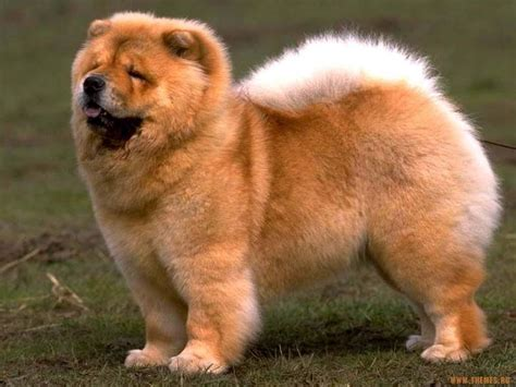 chow dogs chow chow photo and wallpaper beautiful chow chow pictures
