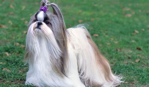shih tzu health information shih tzu breed information