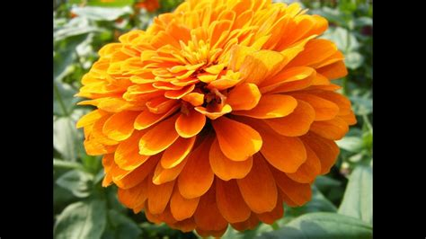 imagenes de flores de muertos zempasuchil flor del muerto como medicina youtube