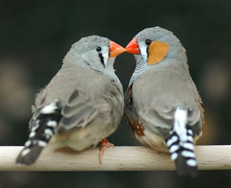 why love matters to a zebra finch audubon