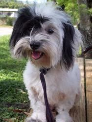 havanese rescue south florida alana is an adoptable havanese in davie fl important we adopt only in south