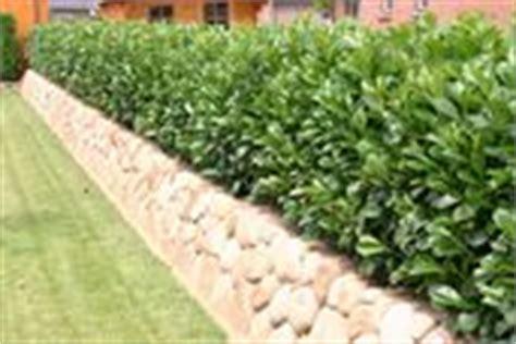 Kirschlorbeer Hecke Kaufen 157 by Heckenpflanzen Sch 246 Nste Gartengrenzen Hier