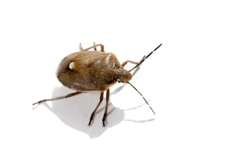 types of bed bugs photos clipartsgram