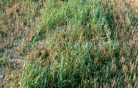 couch grass control blackthorn arable stock images pictures of farming crops