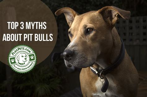 do rottweilers locking jaws the top 3 myths about pit bulls