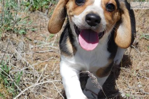 teacup beagle puppies for sale teacup beagles for sale breeds picture