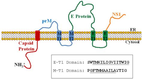 e protein dengue schematic representation of the organization of dengue