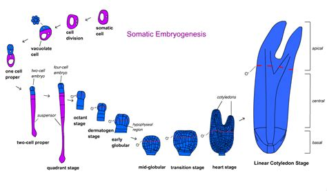 embryogenesis pattern formation from a single cell plant and soil sciences elibrary print lesson