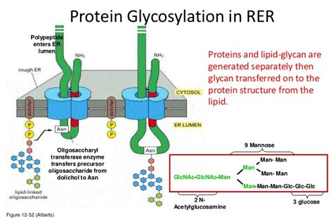 protein n glycosylation lecture 7 glycosylation in cell culture