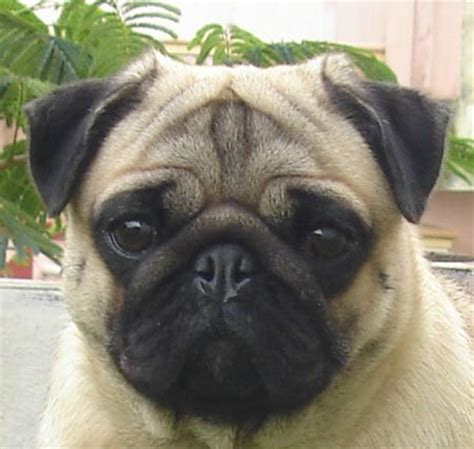 pug adults pug pictures to pin on pinsdaddy