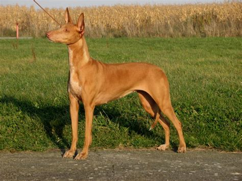 pharaoh hound puppies for sale pharaoh hound puppies for sale puppypurebredcom breeds picture