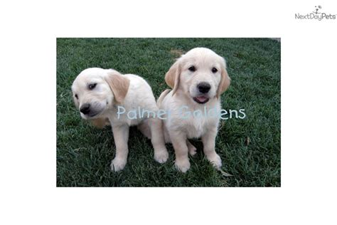 puppies for sale palm springs golden retriever puppies for sale in palm springs www proteckmachinery