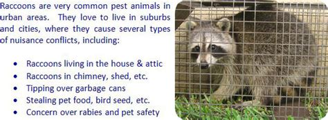 how to catch a raccoon in my backyard raccoon information habitat biology life cycle diet