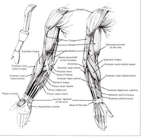 arm bone diagram arm diagrams diagram site