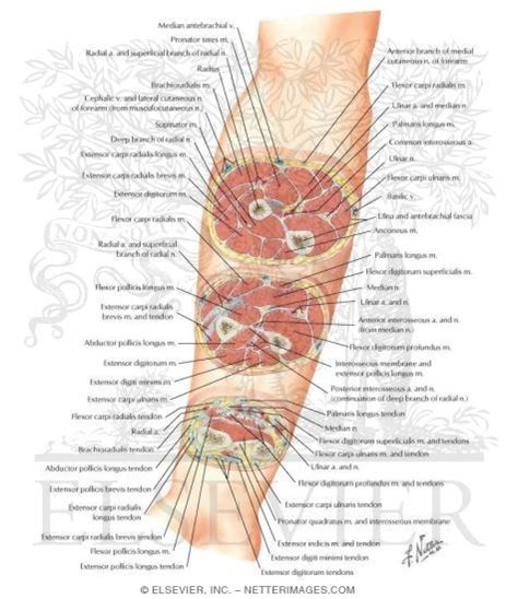 anatomy cross sections cross sectional anatomy of right forearm