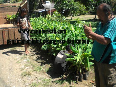 Bibit Durian Bawor Wonogiri bibit pisang raja dan pisang ambon di kirim ke pemda wonogiri