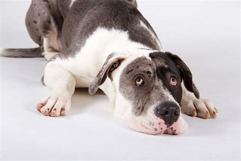 addisons disease in dogs s disease in dogs pets4homes