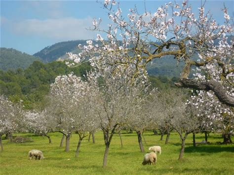 wann ist die mandelblüte auf mallorca mallorca im februar 9flats