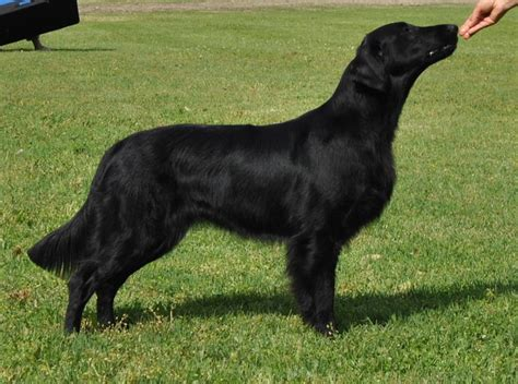 Flat Coated Retriever Shedding by 17 Best Images About Flatcoated Retrievers On