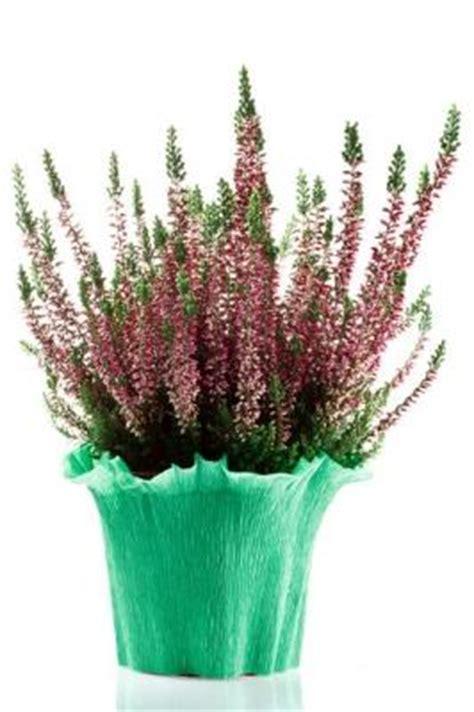 erica in vaso erica che colora l autunno