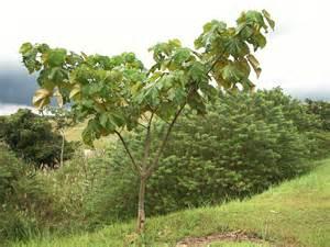 Difficult Plants To Grow by Azuero Earth Project Ochroma Pyramidale Azuero Earth