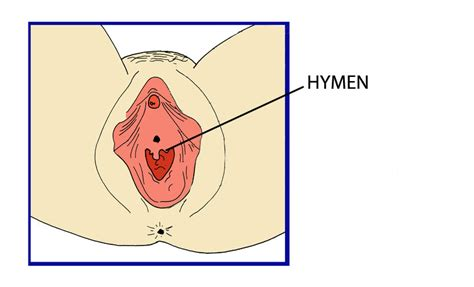diagram hymen hymen repropedia